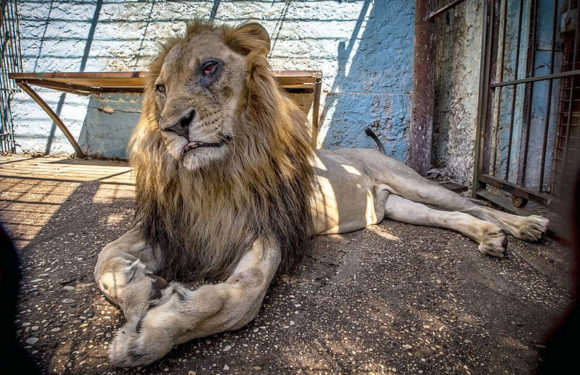 The zoo from hell: Lion with an agonising infected eye languishes in dirty cramped cage along with zebras and wolves in Albania